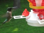 Again with the Hummingbirds