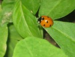 Maverick Elton, Backyard Naturalist: Ladybugs