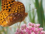 Maverick Elton, Backyard Naturalist (by Maverick) — Butterfly and Moth Edition