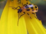 Cucumber Beetles: Wolves in Ladybugs' Clothing