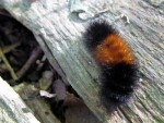 Woolly Bear, Woolly Bear, How Cold Will It Be?
