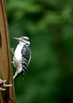 The 2011 Great Backyard Bird Count: Feb 18-21