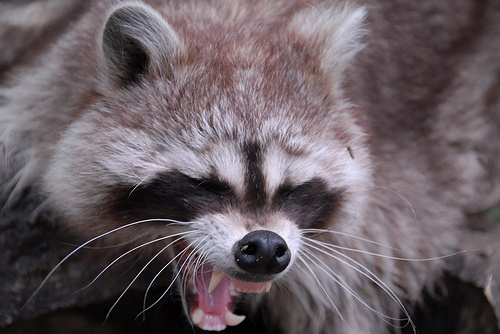 scary raccoon baring teeth