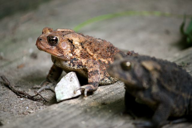 brown toad, black toad