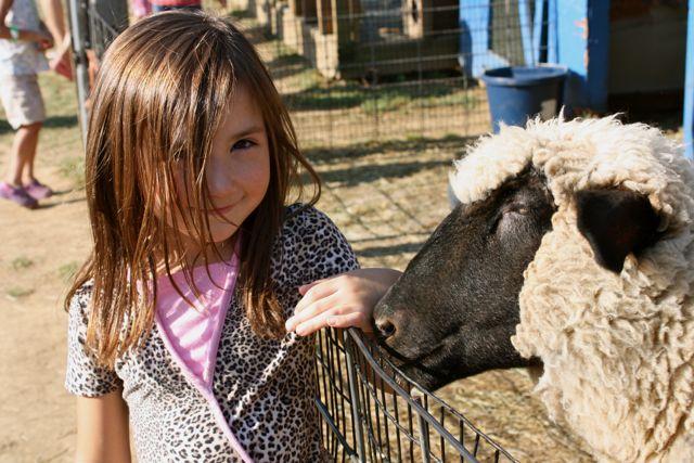cass feeds a sheep