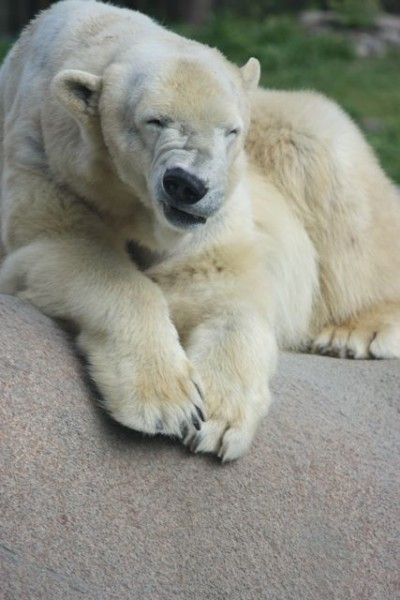 polar bear wrinkling nose