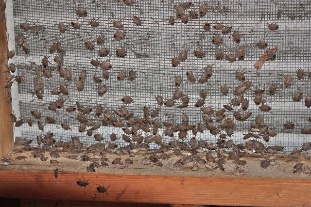 window screen covered in swarm of stink bugs