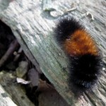 brown and black woolly bear