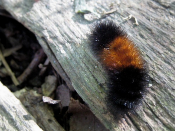 Wooly Bear Caterpillar Winter