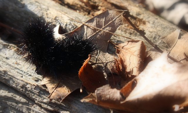 Black And Mild Facts. wooly bear lack Wordless(ish)