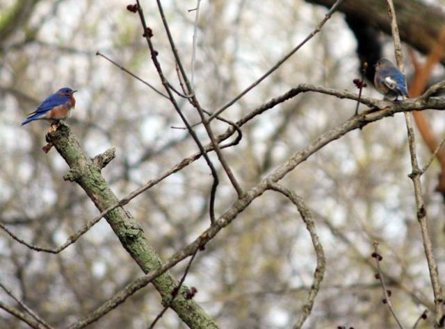male and female bluebird
