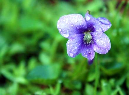 single violet
