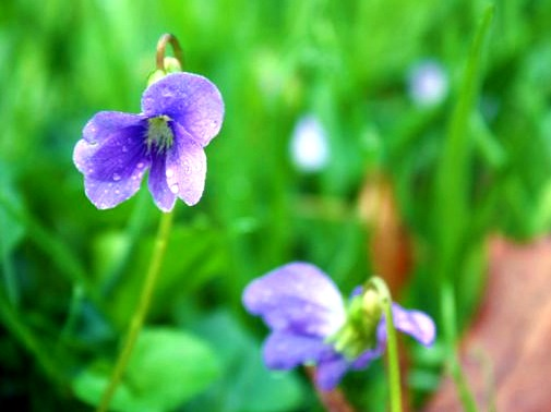 pair of violets