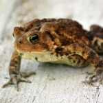 brown toad
