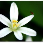 star of bethlehem flower