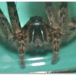 closeup wolf spider