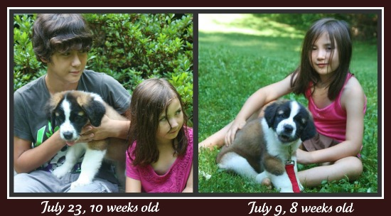 puppy week101 Saint Bernard Puppy Update: Karma, Week 10