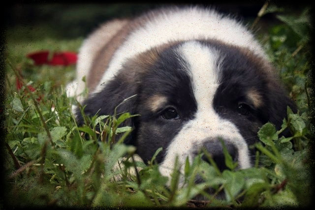 st bernard puppy Saint Bernard Puppy Update