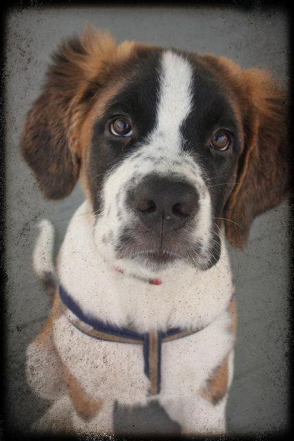 Saint Bernard Puppy Update Super Size Me