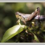 indian summer grasshopper