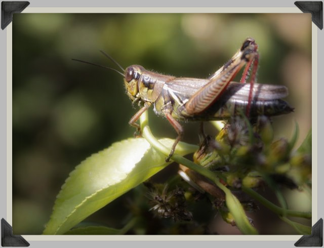 indian summer grasshopper