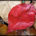 red-leaf-droplets