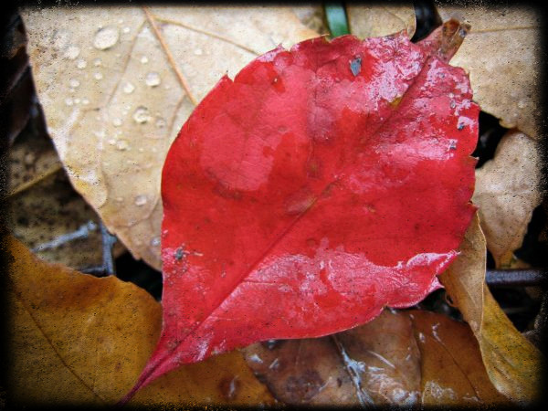 red-leaf-droplets