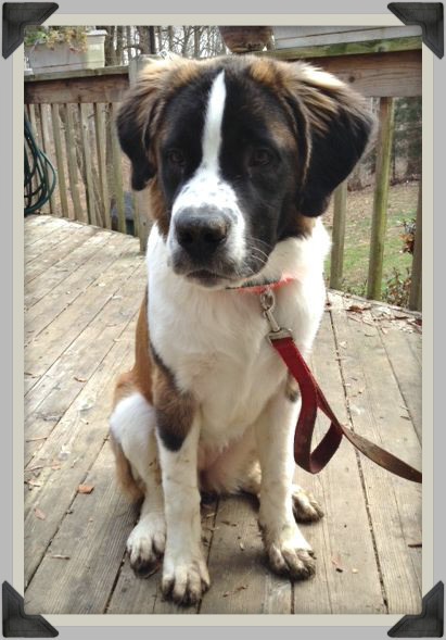 karma deck Saint Bernard Puppy Update