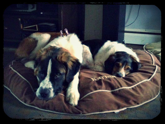 karma jimmy Saint Bernard Puppy Update