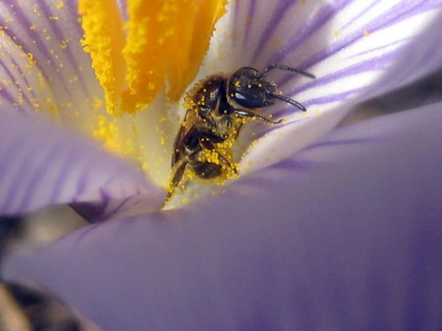 2009 crocus and bee