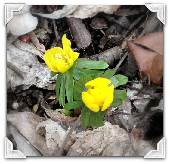 IMG 2888 Of Marsh Marigolds and Cowslips: Signs of Spring