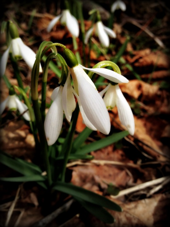 Signs of Spring: Snowdrops