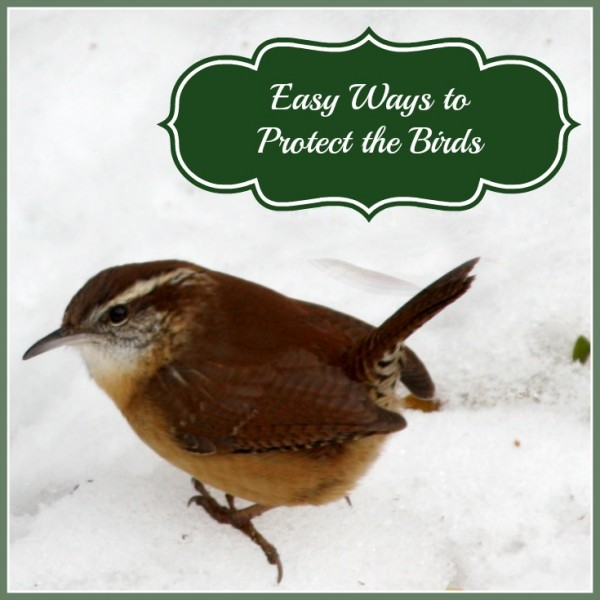 house wren in snow