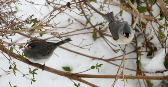 titmouse and junco