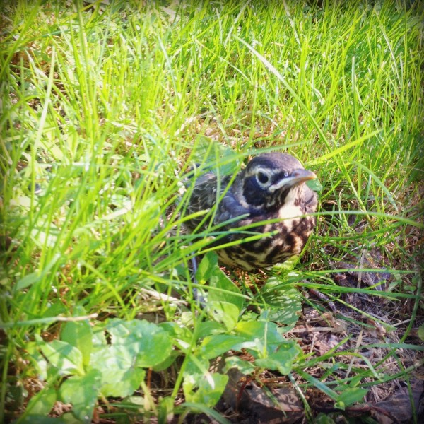 fledgling 600x600 Wordless Wednesday: Mama Robins are Tough