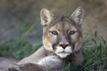 Eastern Cougar: No Longer Endangered. That's Not a Good Thing.