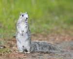 Giant Squirrel Back in Business: the Recovery of the Delmarva Fox Squirrel