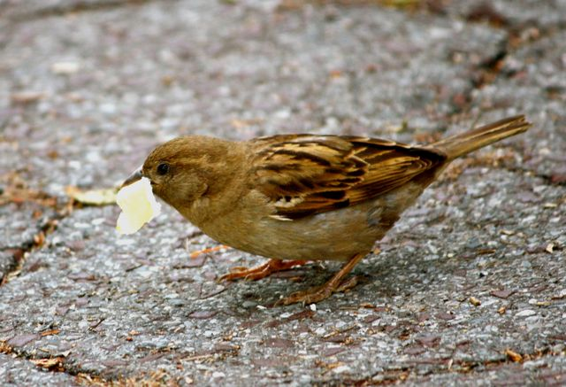 sparrow eating