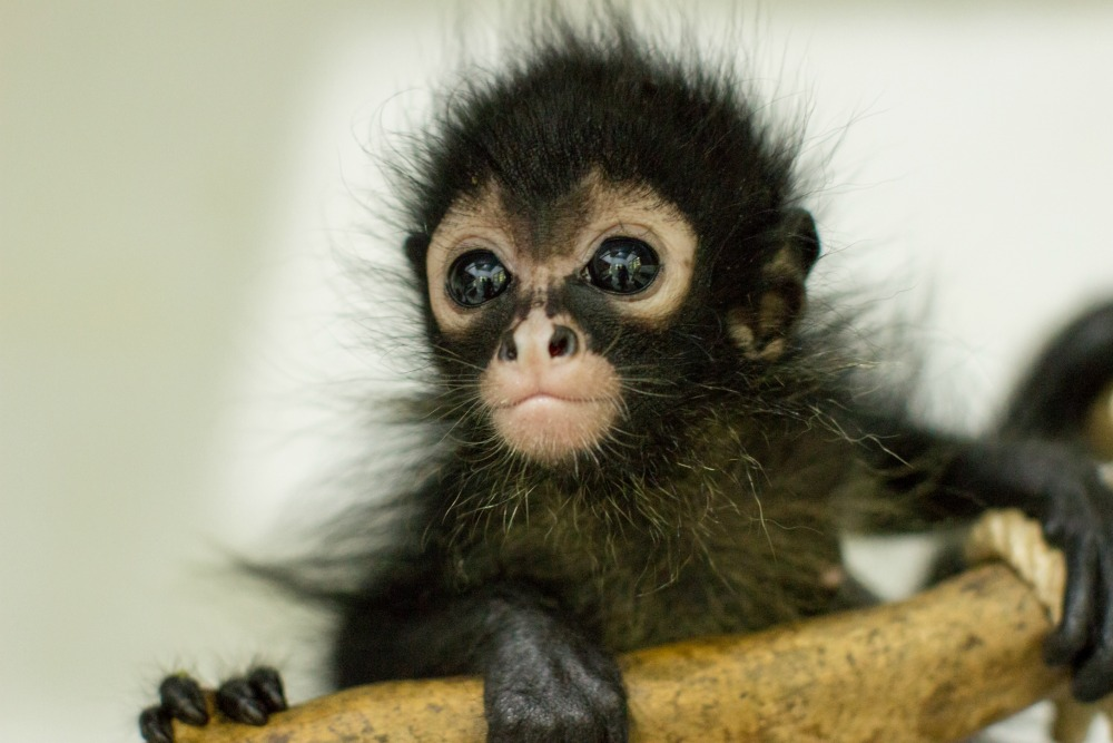 Baby spider monkey © Anna Place/BBC