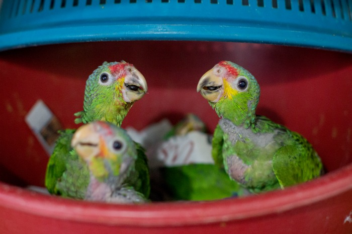 Rescued baby parrots © Anna Place/BBC