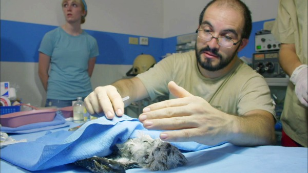 Vet Alejandro Morales wakes up baby northern potoo bird after surgery. © BBC