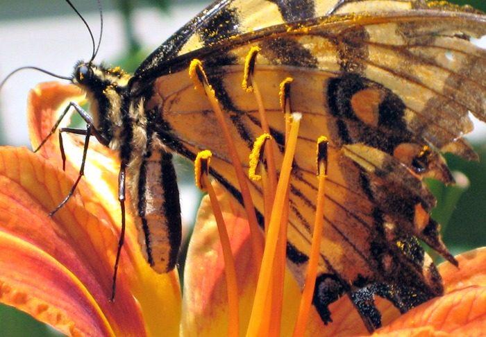 butterfly in pollen