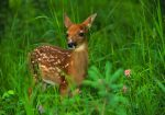 What to Do (and Not Do) If You Find a Baby Deer